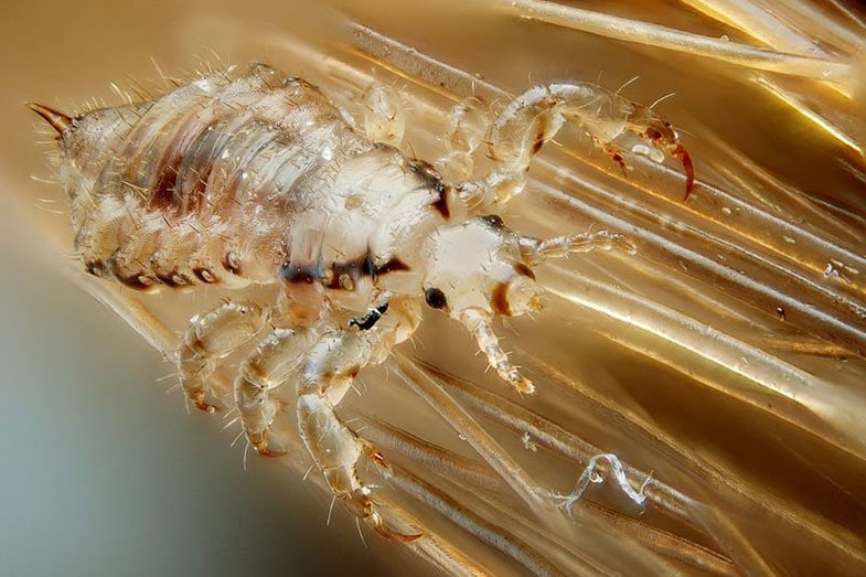Head Lice Live On Pillows And Sheets, How Long Can Lice Live On Clothes And Bedding