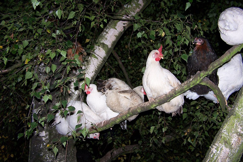 Chickens in a Tree