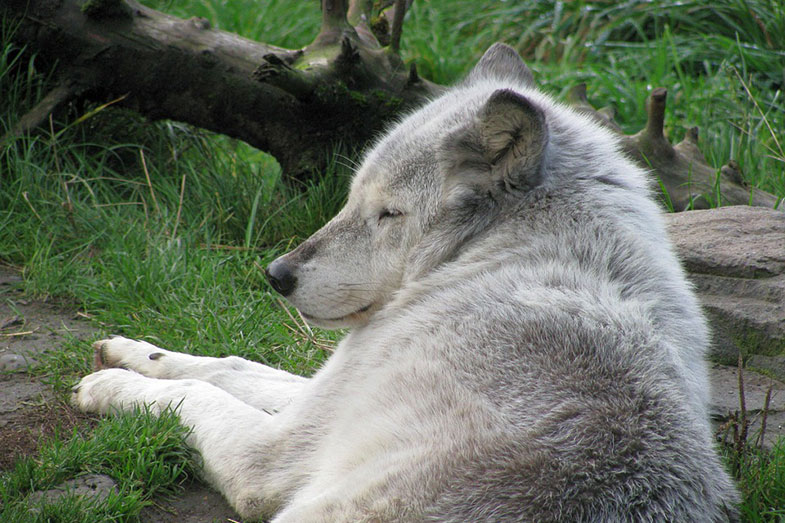 Wolf Taking a Nap