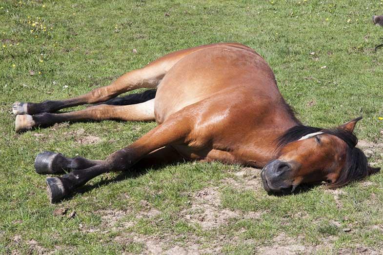Horse Sleeping Lying Down