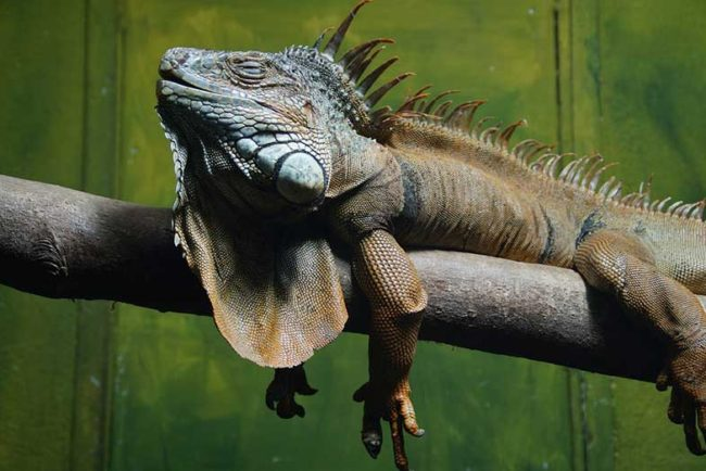 How Do Iguanas Sleep (and Where)?