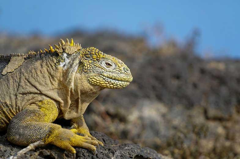Iguana with One Eye Open