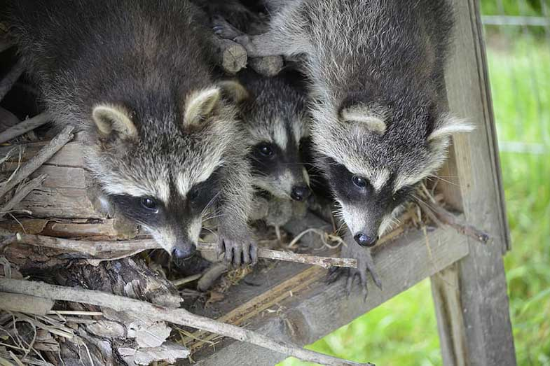 Raccoons in a Nest
