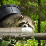Where Do Raccoons Sleep During the Day?