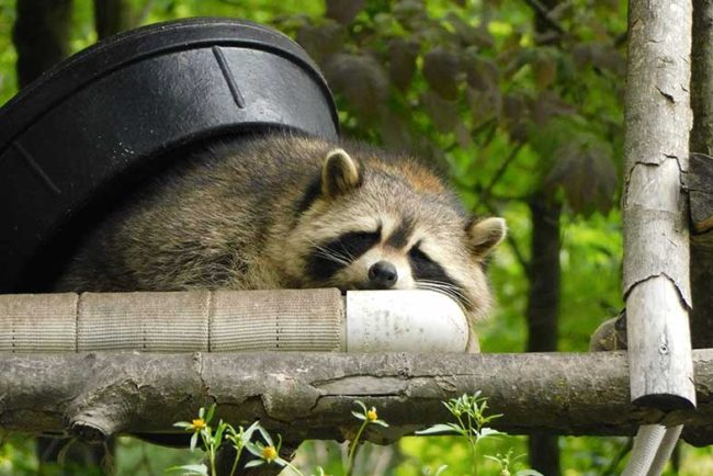 Where Do Raccoons Sleep During the Day?