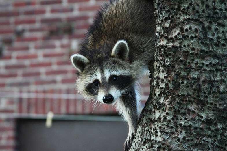 Urban Raccoon