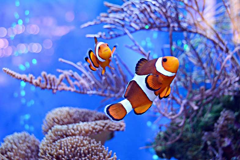 Clownfish in Aquarium Fish Tank with Reef