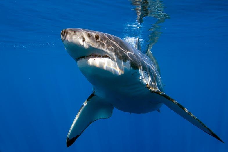 Great White Shark in Deep Blue Ocean
