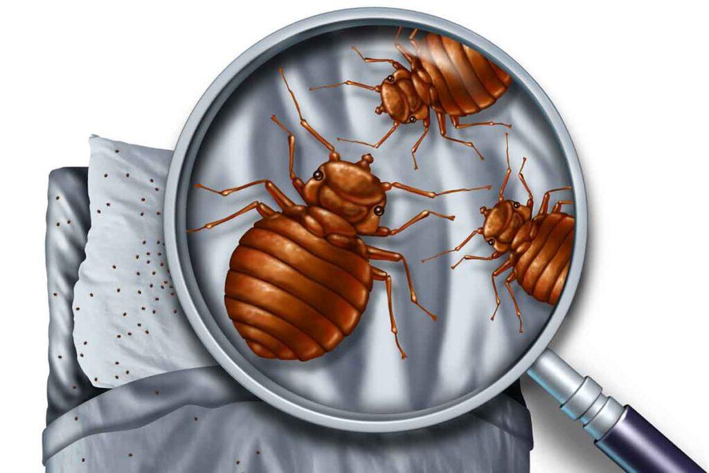 Bed Bug Infestation Magnification
